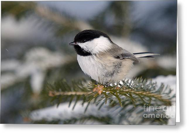 Black-capped Chickadee Greeting Card by Linda Freshwaters Arndt