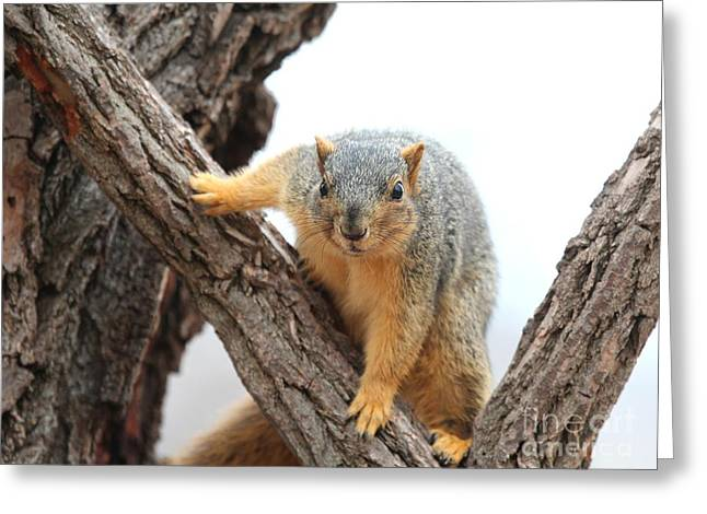 Eastern Fox Squirrel Greeting Card by Jack R Brock