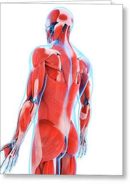 Human Back Muscles Greeting Card by Sebastian Kaulitzki