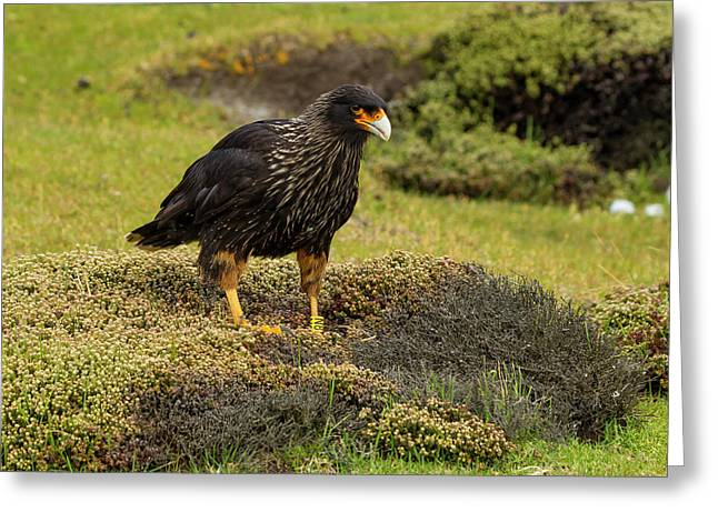 South America, Falkland Islands Greeting Card by Jaynes Gallery