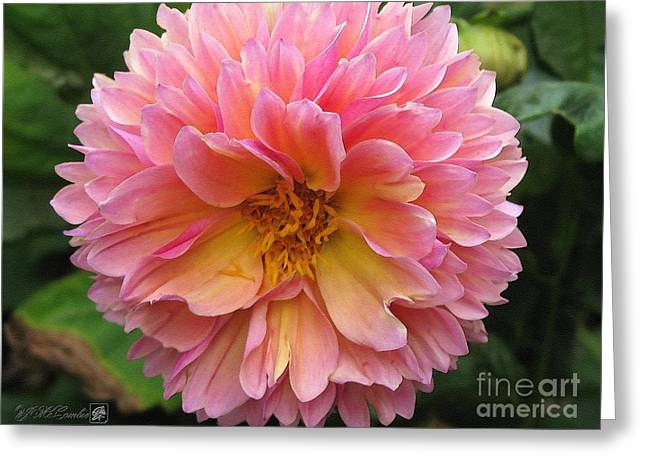 Dahlia From The Showpiece Mix Greeting Card by J McCombie