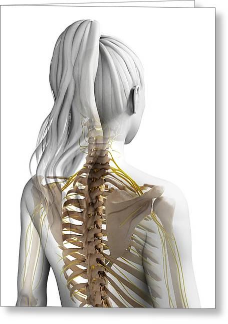 Female Nervous System Greeting Card by Sebastian Kaulitzki