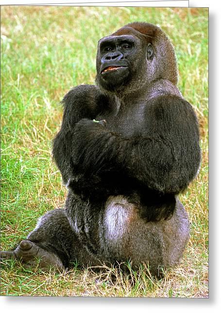 Western Lowland Gorilla Greeting Card by Millard H. Sharp