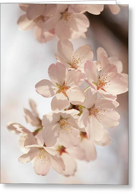 Yoshino Cherry (prunus X Yedoensis) Greeting Card by Maria Mosolova