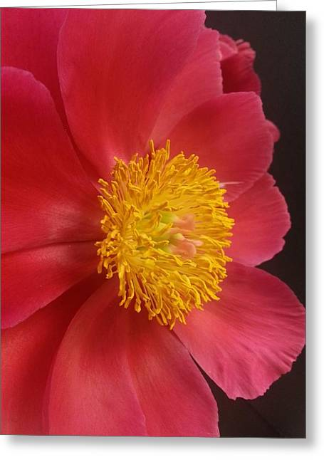 2nd Peony Greeting Card by Heather L Wright