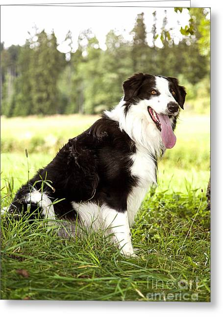 Border Collie In The Nature Greeting Card by Regina Koch