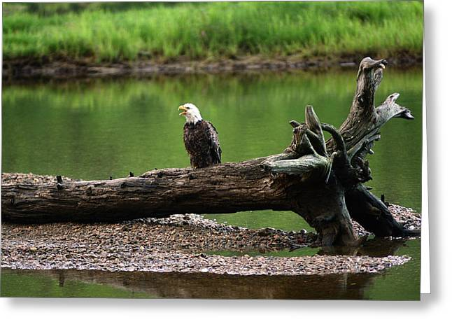 A Bald Eagle, Haliaeetus Leucocephalus Greeting Card
