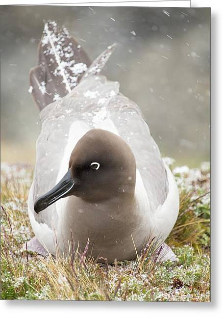 A Light Mantled Albatross Greeting Card