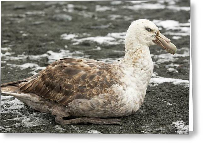 A Southern Giant Petrel Greeting Card by Ashley Cooper