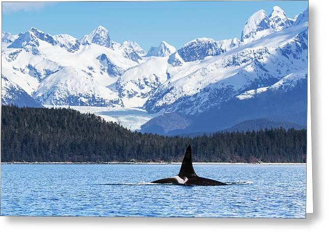 An Orca Whale  Killer Whale   Orcinus Greeting Card