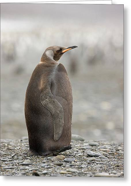 Antarctica, South Georgia, Salisbury Greeting Card by Jaynes Gallery