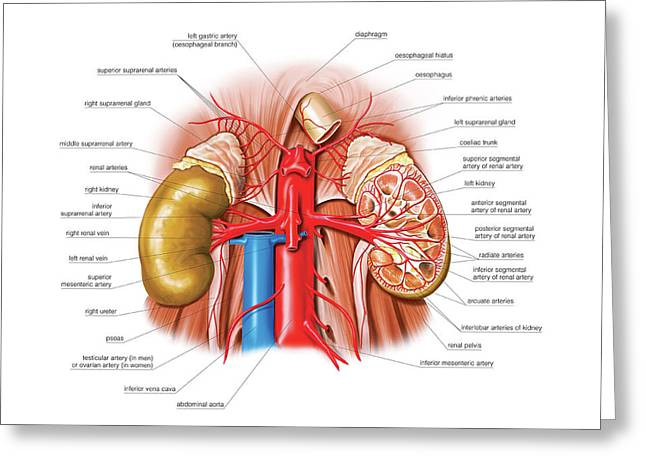 Arterial System Of The Abdomen Greeting Card by Asklepios Medical Atlas