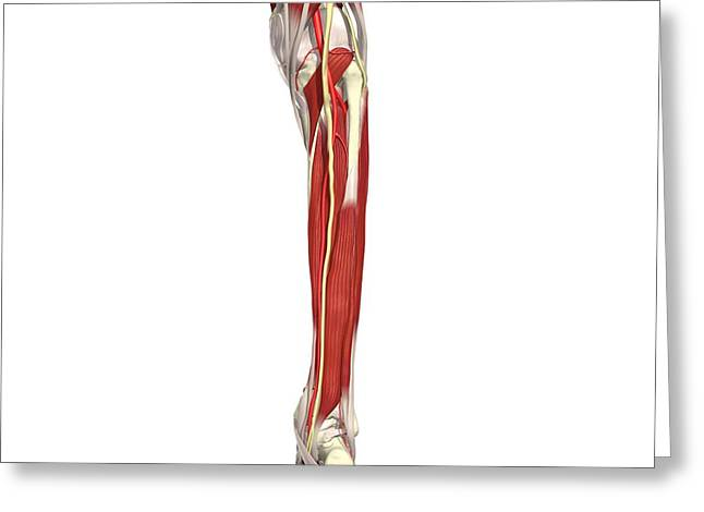 Arteries, Nerves And Muscles Of Leg Greeting Card