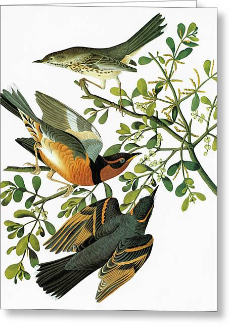 Audubon Thrush Greeting Card by Granger