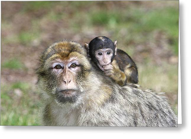 Barbary Macaques Greeting Card by M. Watson