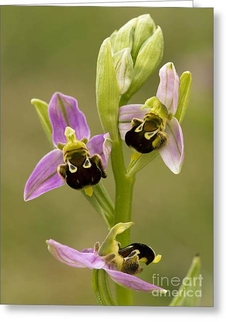 Bee Orchid Ophrys Apifera Greeting Card by Bob Gibbons