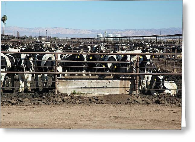 Beef Cattle Greeting Card by Jim West