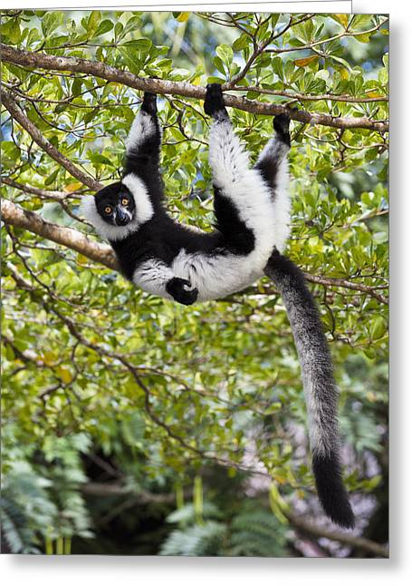 Black And White Ruffed Lemur Madagascar Greeting Card