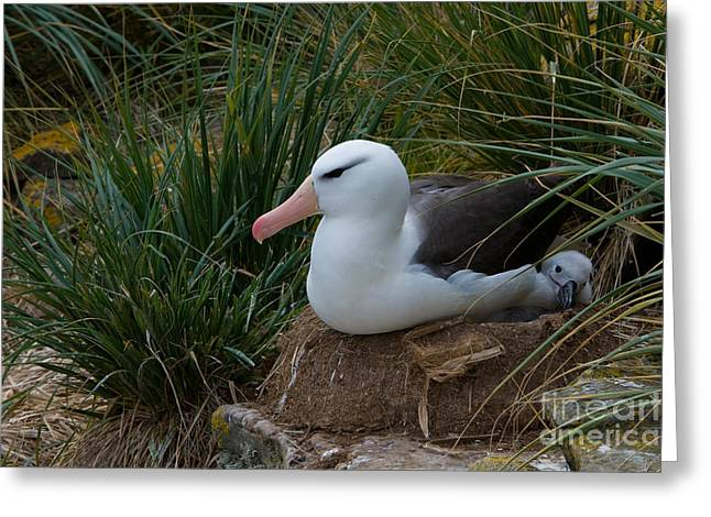 Black-browed Albatross Greeting Card by John Shaw