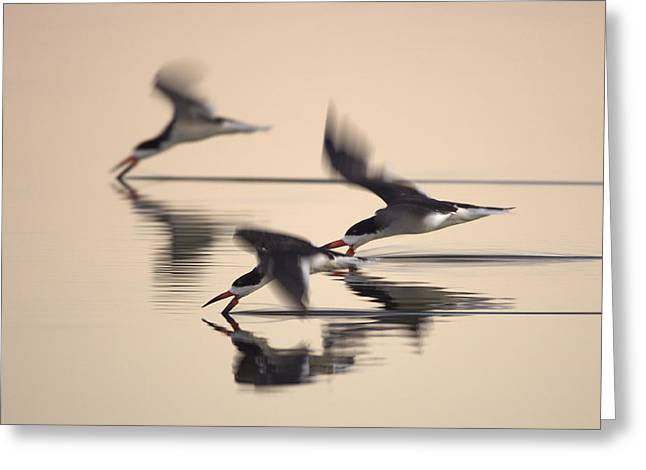 3 Black Skimmers  382z3059 Greeting Card