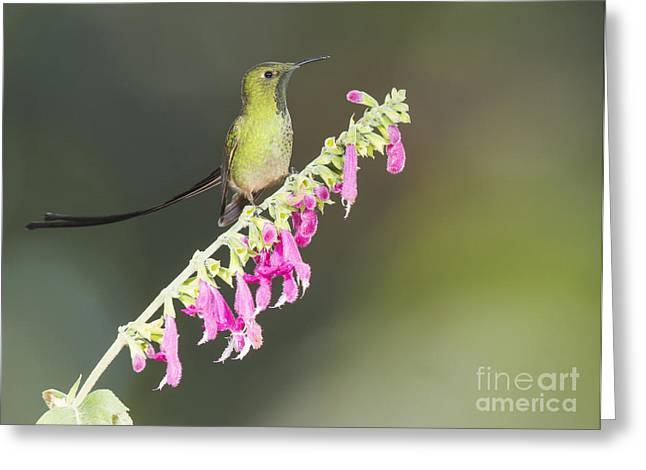 Black-tailed Train Bearer Hummingbird Greeting Card by Dan Suzio