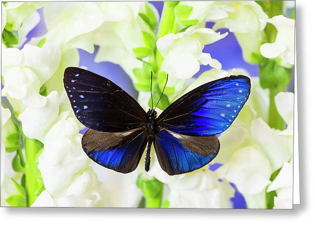 Blue Crow Butterfly, Euphoea Mulciber Greeting Card
