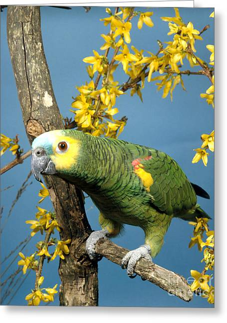 Blue-fronted Amazon Parrot Greeting Card by Hans Reinhard