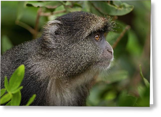 Blue Monkey Cercopithecus Mitis Greeting Card by Photostock-israel