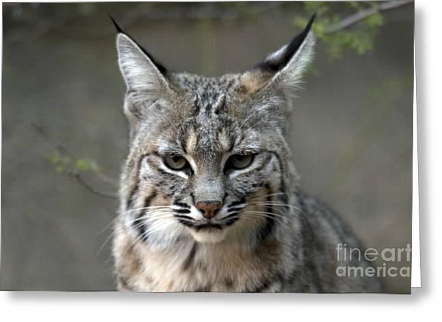 Bobcat Greeting Card by Mark Newman