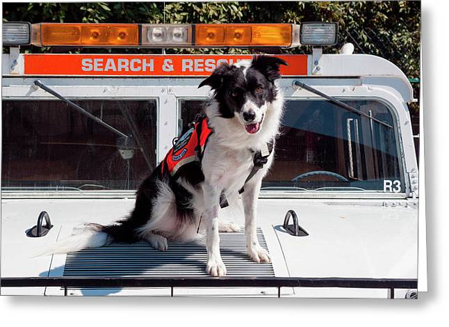 Border Collie Search And Rescue Dog (mr Greeting Card by Zandria Muench Beraldo