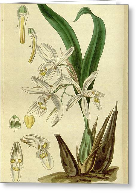 Botanical Print By Augusta Innes  Withers Née Baker Greeting Card
