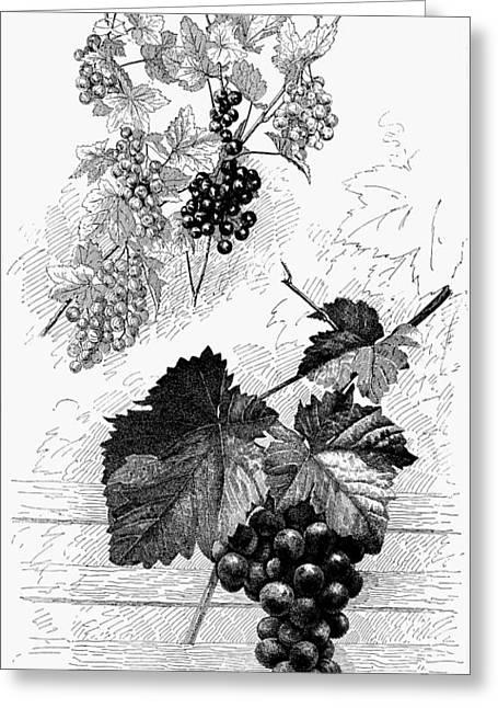 Botany Grapes Greeting Card by Granger