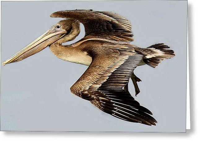 Brown Pelican In Flight Greeting Card by Paulette Thomas