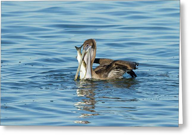 Brown Pelican (pelecanus Occidentalis Greeting Card by Larry Ditto