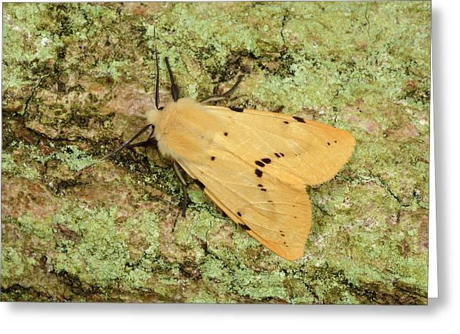 Buff Ermine Moth Greeting Card by Nigel Downer