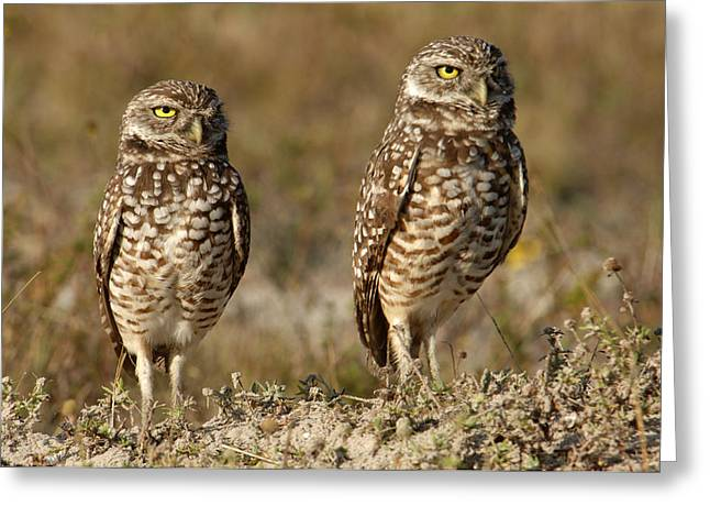 Burrowing Owl   Athene Funicular Greeting Card by Carol Gregory