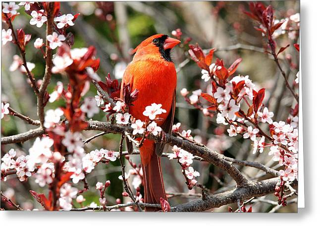 Greeting Card featuring the photograph Cardinal by Trina  Ansel