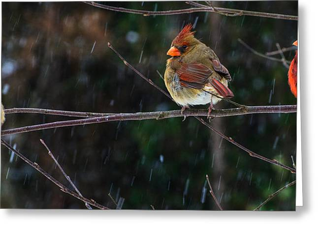 3 Cardinals On A Branch  Greeting Card