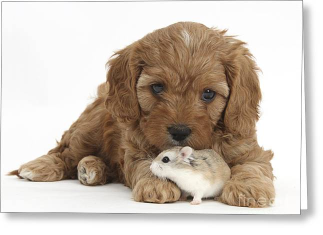 Cavapoo Puppy And Roborovski Hamster Greeting Card by Mark Taylor