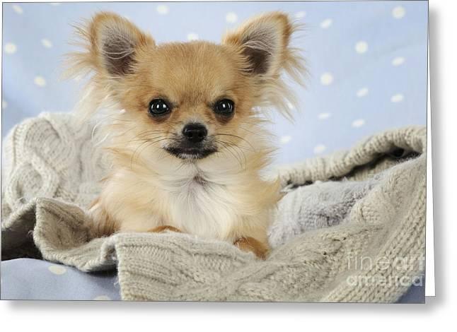Chihuahua Dog Greeting Card