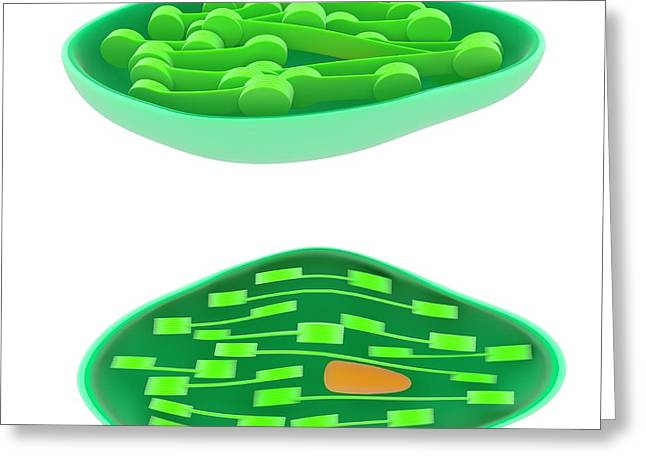 Chloroplast Greeting Card by Science Photo Library