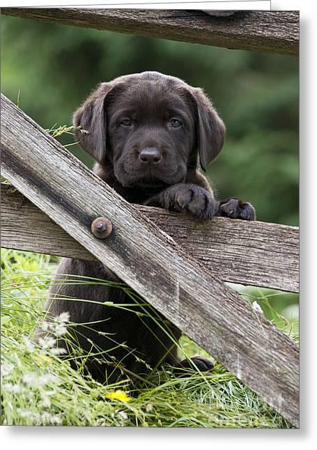 Chocolate Labrador Puppy Greeting Card by John Daniels