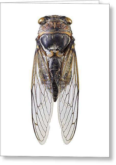 Cicada Greeting Card by Science Photo Library