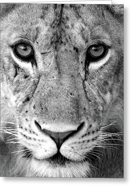 Close-up Of A Lioness Panthera Leo Greeting Card