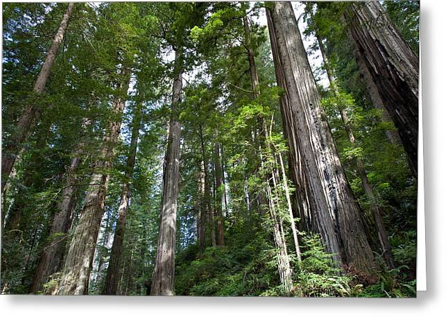 Coast Redwood Forest Greeting Card