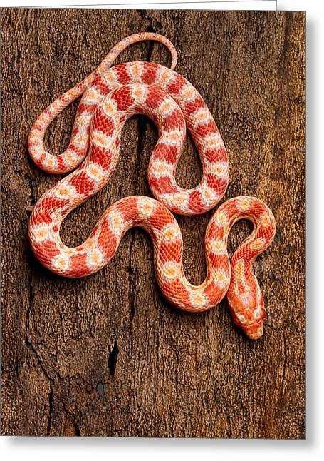 Corn Snake P. Guttatus On Tree Bark Greeting Card by David Kenny