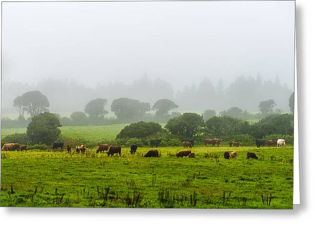 Cows At Rest Greeting Card