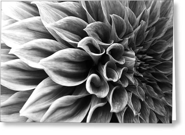 Dahlia Flower Greeting Card by Sumit Mehndiratta