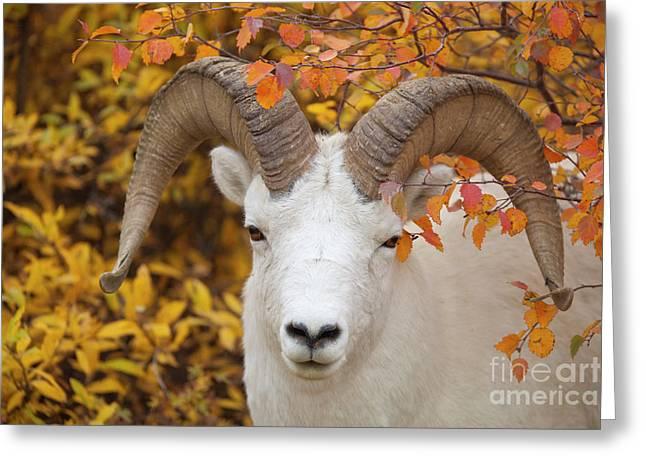 Dalls Sheep Ram In Denali Greeting Card