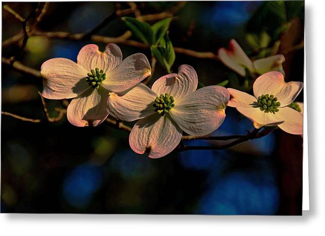 Greeting Card featuring the photograph 3 Dogwoods On A Branch by John Harding